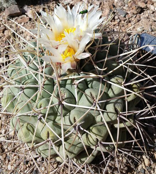 Bird's nest cactus (Thelocactus rinconensis)