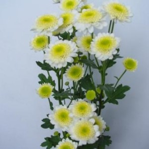 Fresh_cut_flower-Spray_Chrysanthemum-Puma