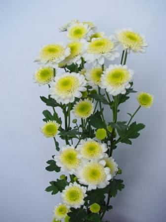 Fresh_cut_flower-Spray_Chrysanthemum-Puma