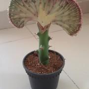 Lactia Cactus