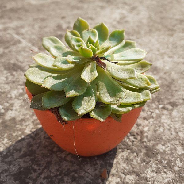Succulent-003