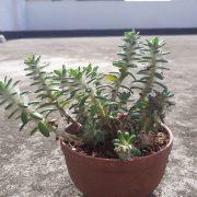 Succulent-008 (Big)