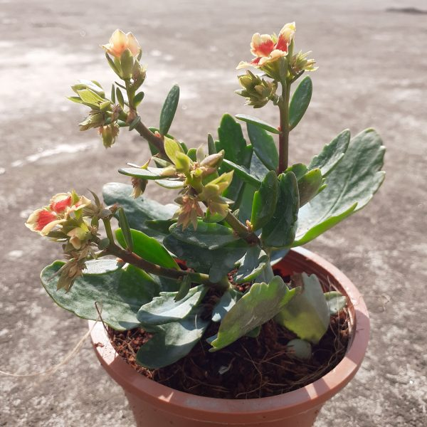 Kalanchoe Variegated Yellow