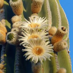 The cardon [Pachycereus pringlei] Cactus