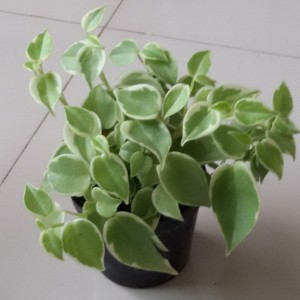 Imported Plant – 06